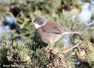 Sardinian Warbler female_Aron Tanti