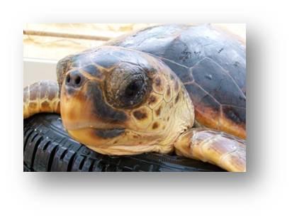 Adopt A Turtle - Nature Trust Malta